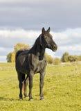 Sad black horse against an autumn landscape. Portrait of a sad black old horse against an autumn sunny yellow landscape. Selective focus royalty free stock images