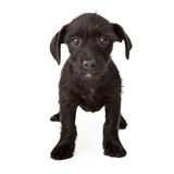 Sad black terrier-mix puppy Stock Image