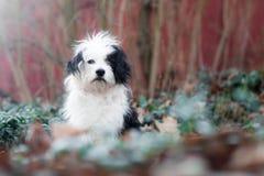 Sad black and white dog Stock Images