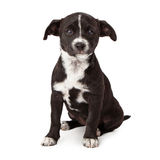 Sad black and white puppy sitting Royalty Free Stock Photos