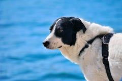 Sad black and white Sheep dog Stock Photo