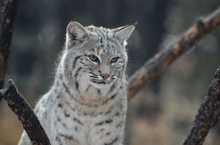 Sad Bobcat Who Lost HIs Quarry Royalty Free Stock Photo