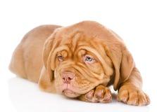 Sad Bordeaux puppy dog. isolated on white background Stock Images