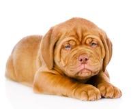 Sad Bordeaux puppy dog. isolated on white background Stock Photography
