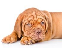 Sad Bordeaux puppy dog. isolated on white background Royalty Free Stock Images