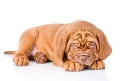 Sad Bordeaux puppy dog. isolated on white background Stock Photos
