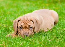 Sad bordeaux puppy dog lying on green grass Royalty Free Stock Photo