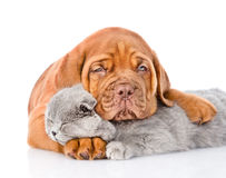 Sad Bordeaux puppy hugs sleeping cat. isolated on white Royalty Free Stock Photography