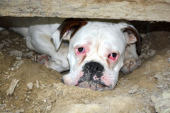 Boxer dog portrait. Head portrait of a purebred white boxer dog staring with very sad facial expression Stock Images