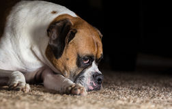 Sad Boxer Dog Royalty Free Stock Photography