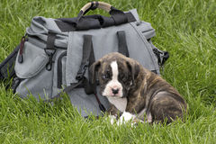 Sad Brindle Boxer Puppy Sitting With Backpack Royalty Free Stock Photo