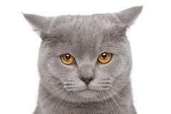 Sad British Shorthair cat. Portrait of sad British Shorthair cat on a white background royalty free stock photo