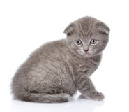 Sad british shorthair kitten. isolated on white background Royalty Free Stock Image