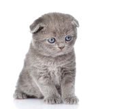 Sad british shorthair kitten.  on white background Royalty Free Stock Photo