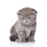 Sad british shorthair kitten.  on white background Stock Image