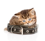 Sad british tabby kitten with collar. isolated on white backgrou Royalty Free Stock Photo