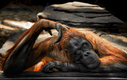 Sad brooding big ginger orangutan behind glass at the zoo looking into the lens Royalty Free Stock Photo