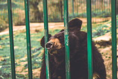 Sad Brown Bear Behind Bars in Zoo. Sad Brown Bear in Cage Stock Photography