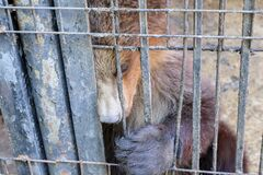 Sad brown bear in an iron cage. Brown bear in the zoo in captivity. Poor animal keeping in cages in the zoo.