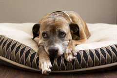 Sad Brown Dog on Bed Royalty Free Stock Photo