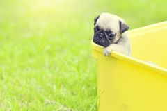 Sad brown Pug. Cute puppy brown Pugs feeling sad in yellow bucket stock photography