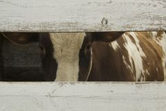 Sad brown and white cow in a farm. Looking in camera through an old wooden fence. Animal protection concept stock photo