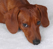 Sad Bucky. Brown-red dachshund looking guilty stock images