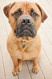 Sad Bull Mastiff Dog Royalty Free Stock Image
