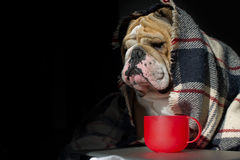 Sad bulldog in a plaid portrait Royalty Free Stock Photo