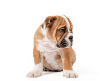 Sad bulldong puppy Stock Image