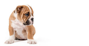 Sad bulldong puppy Royalty Free Stock Photos