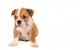 Sad bulldong puppy Royalty Free Stock Photo