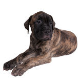 Sad bullmastiff puppy Stock Photos