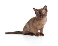 Sad Burmese cat sitting on white Royalty Free Stock Photo