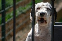 Caged dog portrait barking at you royalty free stock photo