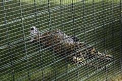 Sad Caged Tiger. Captured animals, abuse mammal zoo big fur danger cat wildlife feline predator carnivore beauty dangerous cute beautiful alone captive prison royalty free stock photos