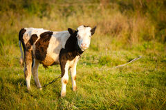 Sad calf Royalty Free Stock Image