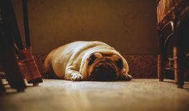 Sad and Calm. Sad calm and surreal pug dog royalty free stock photography