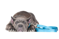 Sad cane corso puppy lying down Stock Photos