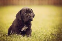 Sad cane corso puppy Stock Photos