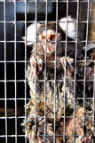 Sad Captive Marmoset Royalty Free Stock Photos