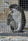 Sad captive monkey. Holding cage bars at zoo Royalty Free Stock Photography