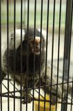 The sad captive monkey in the cage Royalty Free Stock Photos