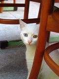 Sad cat. Sad odd-eyed cat sitting under chair in Istanbul stock images