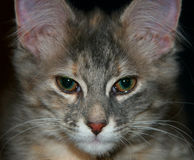 Sad cat. Close-up of a cute baby cat with teary green eyes isolated on black background Stock Photography
