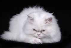 Sad cat. Young white sad kitten isolated on black background Royalty Free Stock Photo