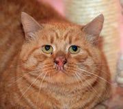 Sad cat. Sad big red fat cat stock photography