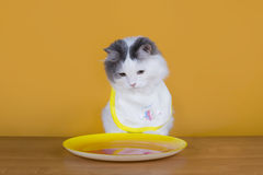 Sad cat on a diet before the emptiness of plate Stock Images