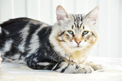 Sad cat. Royalty Free Stock Photo