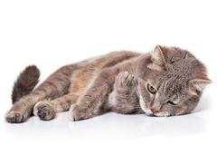 The sad cat lies on one side, is isolated on white. The cat has crossed forepaws and sadly looks before himself, a close up, selective focus stock image